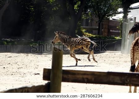 young zebra running and jumping among giraffes - stock photo