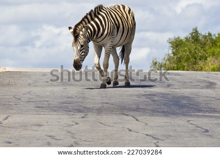 young zebra walking down a sloped tar road  - stock photo