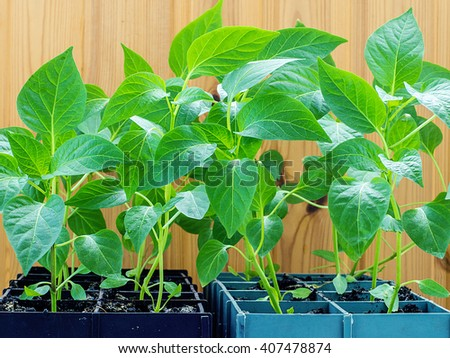 Youth bio ecological sprouts in the boxes, sustainable living. Vegetable seedlings growing in rows on a wooden background. Dark soil. Ready for planting. - stock photo