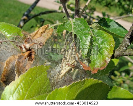 Yponomeuta malinellus or apple ermine moth larvae colony on apple tree in its web close up.