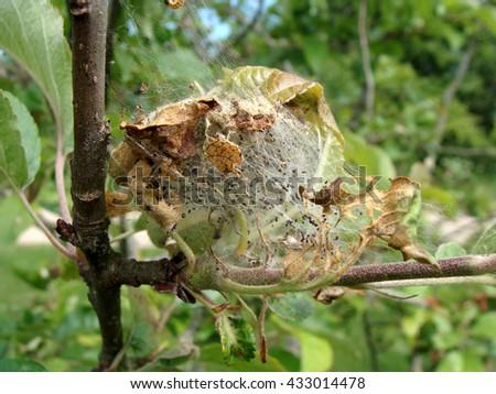 Yponomeuta malinellus or apple ermine moth larvae colony web on apple tree close up macro. - stock photo