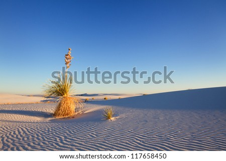 Yucca at sunset, White Sand National Monument - stock photo