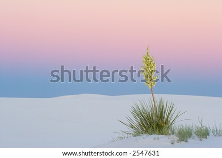 Yucca at Sunset - White Sands National Park, New Mexico, USA - stock photo