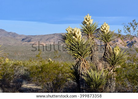 Yucca in bloom at Joshua Tree National Park, California. - stock photo