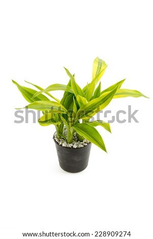 Yucca in the small pots with white rock isolated on white background - stock photo