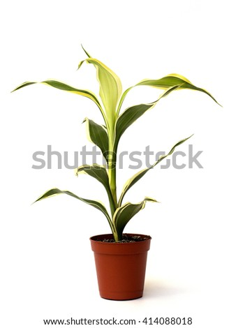 yucca on a white background - stock photo