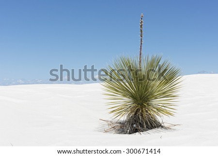 Yucca Plant At White Sands National Monument In New Mexico - stock photo