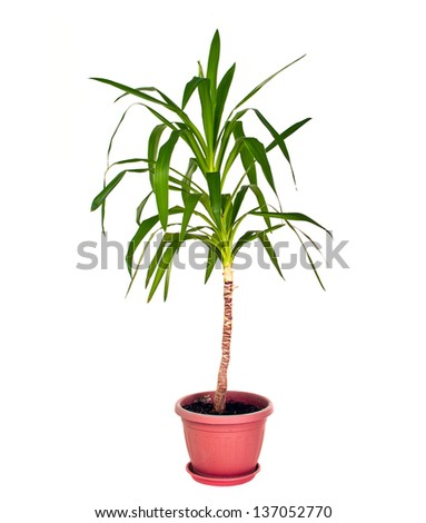 yucca plant in pot on white - stock photo