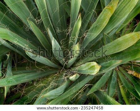 Yucca plant is from America, a kind of palm   - stock photo