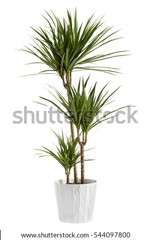 Yucca plant potted in a container for use indoors as a houseplant and decoration over a white background