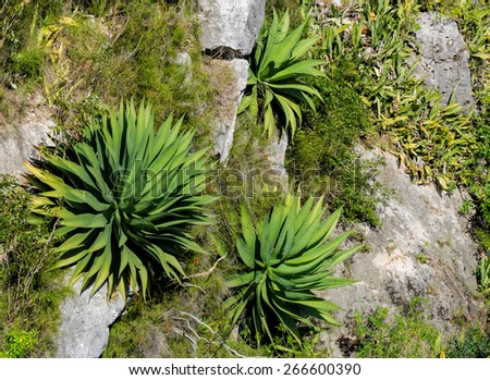 Yucca plants growing on steep cliffs in Cuba - stock photo