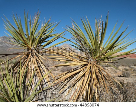 Yucca trees in the desert of Nevada