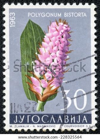 YUGOSLAVIA - CIRCA 1963: A stamp printed in Yugoslavia shows Polygonum bistorta, series, circa 1963 - stock photo