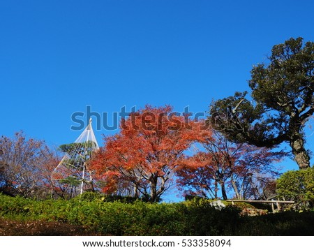 Yukitsuri (for protecting the pine trees against snow damages), View in Autumn, Ikedayama Park, Tokyo, Japan