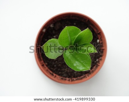 Zamioculcas , dollar tree, cultivation plant soil sprout
