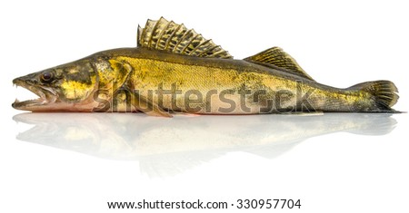 zander fish with open mouth isolated on white background - stock photo
