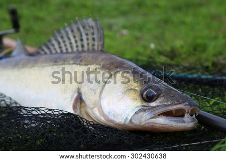 zander  fishing catch on the grass and fishing gear - stock photo