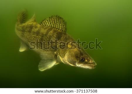 Zander (Sander lucioperca) under the water. Carnivorous fish with marked fins. captured under water. Green background - down darker than up. - stock photo