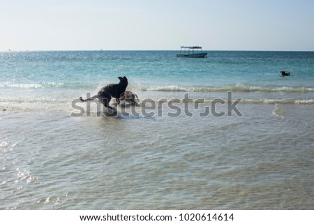 ZANZIBAR, TANZANIA - January 2018: Happy dogs playing in the water on the beach of Zanzibar, Tanzania