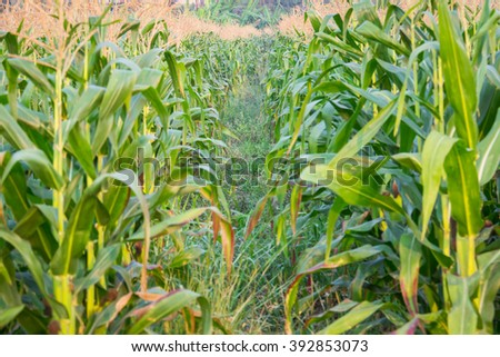 Zea mays Linn. , Sweet corn in the field