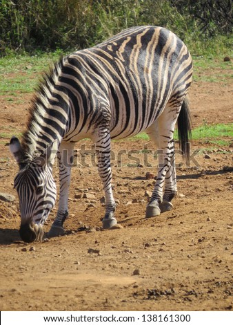 Zebra. - stock photo