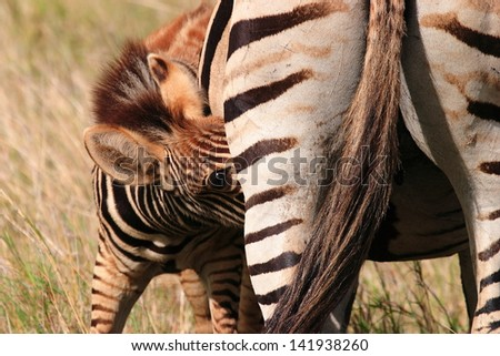 zebra african mammal wildlife south africa kruger national park nature savanna - stock photo