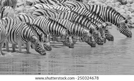 Zebra - African Wildlife Background - Black and White Beauties of Grace - stock photo