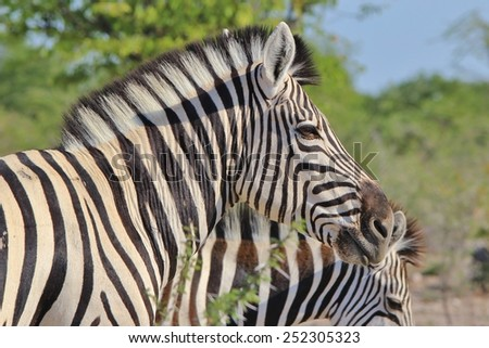 Zebra - African Wildlife Background - Pose of Stripes and Portrait of Freedom