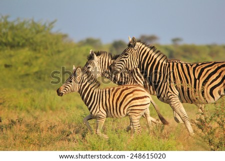 Zebra - African Wildlife Background - Running Stripes - stock photo