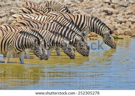 Zebra - African Wildlife Background - Water is Life - stock photo