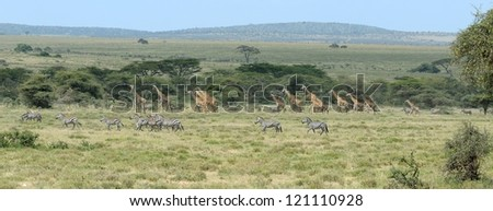 Zebra and Giraffe herd grazing in Ngorongoro Conservation area in Tanzania - stock photo