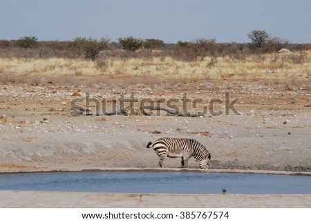 Zebra and lion at water hole - stock photo