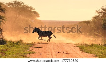 Zebra and other antelope running across dirt road in cloud of dust in the dusk back light - stock photo