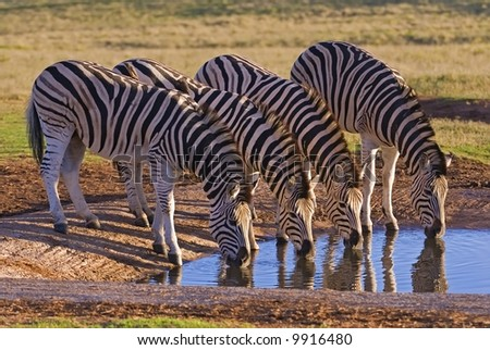 Zebra are water dependent and need to drink everyday - stock photo