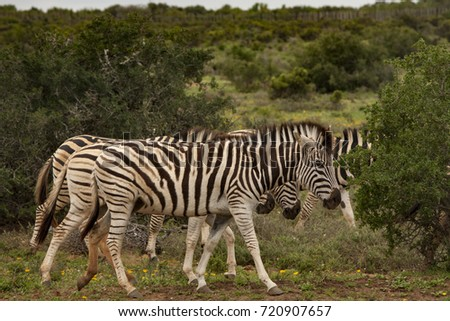 Zebra at Addo National Park, Eastern Cape, South Africa