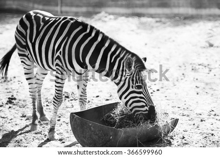Zebra at Al Dosari Zoo and Game Reserve, Ash-Shahaniyah