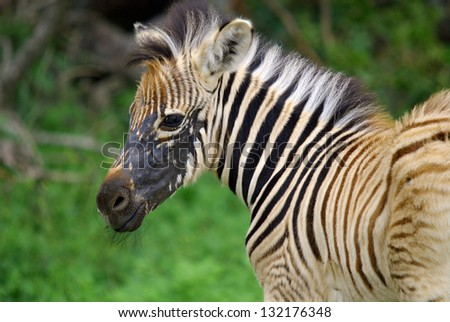 Zebra at Hluhluwe-Umfolozi Game Reserve, located 280 km north of Durban, is the oldest proclaimed park in Africa. In central Zululand, KwaZulu-Natal, South Africa and is known for its rich wildlife - stock photo