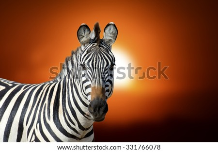 Zebra at sunset in Africa, National park of Kenya - stock photo
