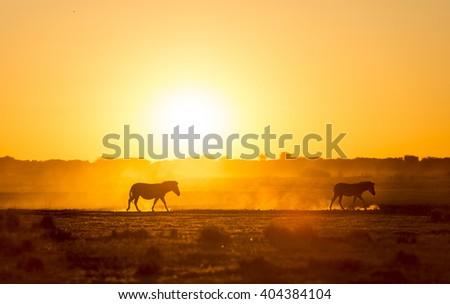 Zebra at sunset in Botswana, Africa with beautiful sunset light - stock photo