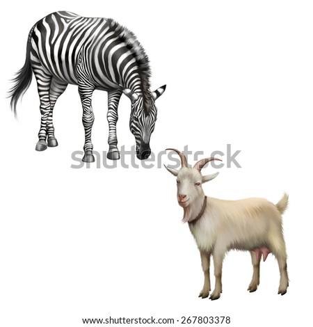 zebra bent down eating grass, Goat standing up isolated on a white background - stock photo