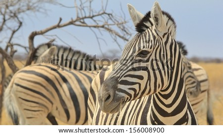 Zebra, Burchell's - Wildlife Background from Africa - Stare of Stripes and beauty of the Animal Kingdom.