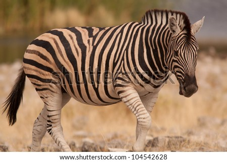 zebra by 3 - stock photo