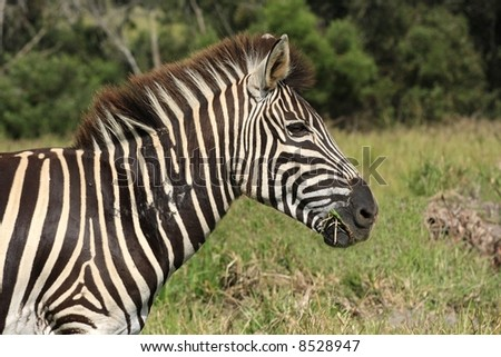 zebra chewing some grass early in the morning