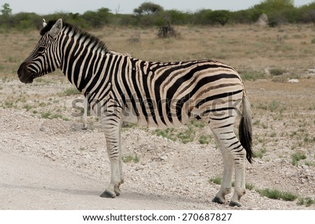Zebra close up from Etosha National Park, Namibia