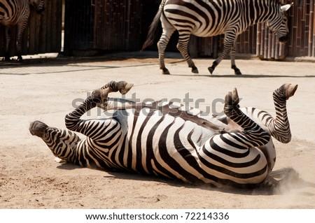 zebra doing barrel rolls - stock photo
