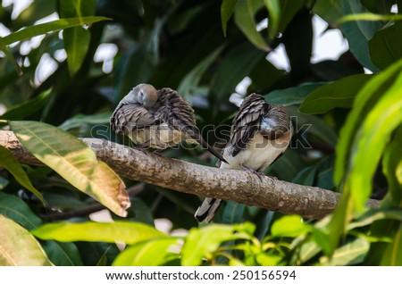 Zebra dove Preening on the branch - stock photo