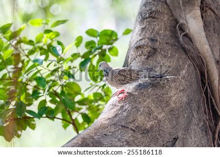 Zebra dove stands on the tree - stock photo
