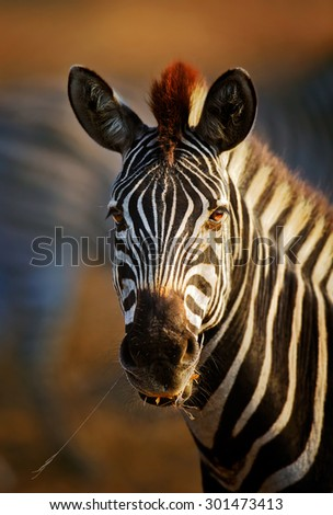 Zebra (Equus burchell's) portrait close-up - Kruger National park (South Africa)