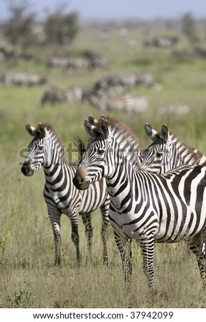 Zebra (Equus burchelli) in the great migration - stock photo
