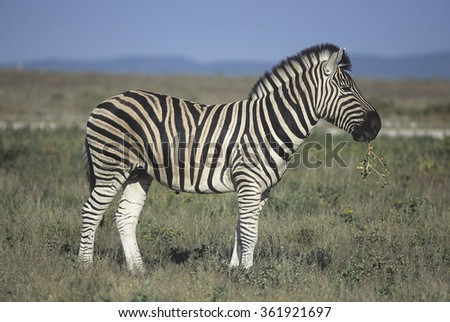 zebra (Equus burchellii) in Etosha national park, Namibia